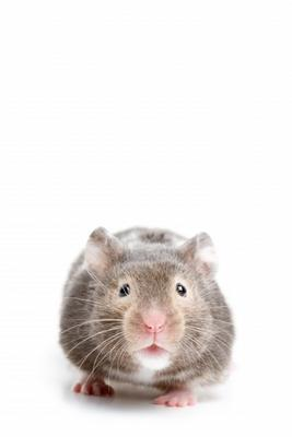 Hamster closeup on white
