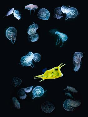 jelly + fish